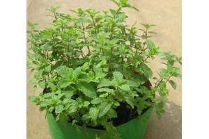 Growing mint in coco peat